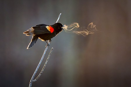 Red-winged Blackbird Companion