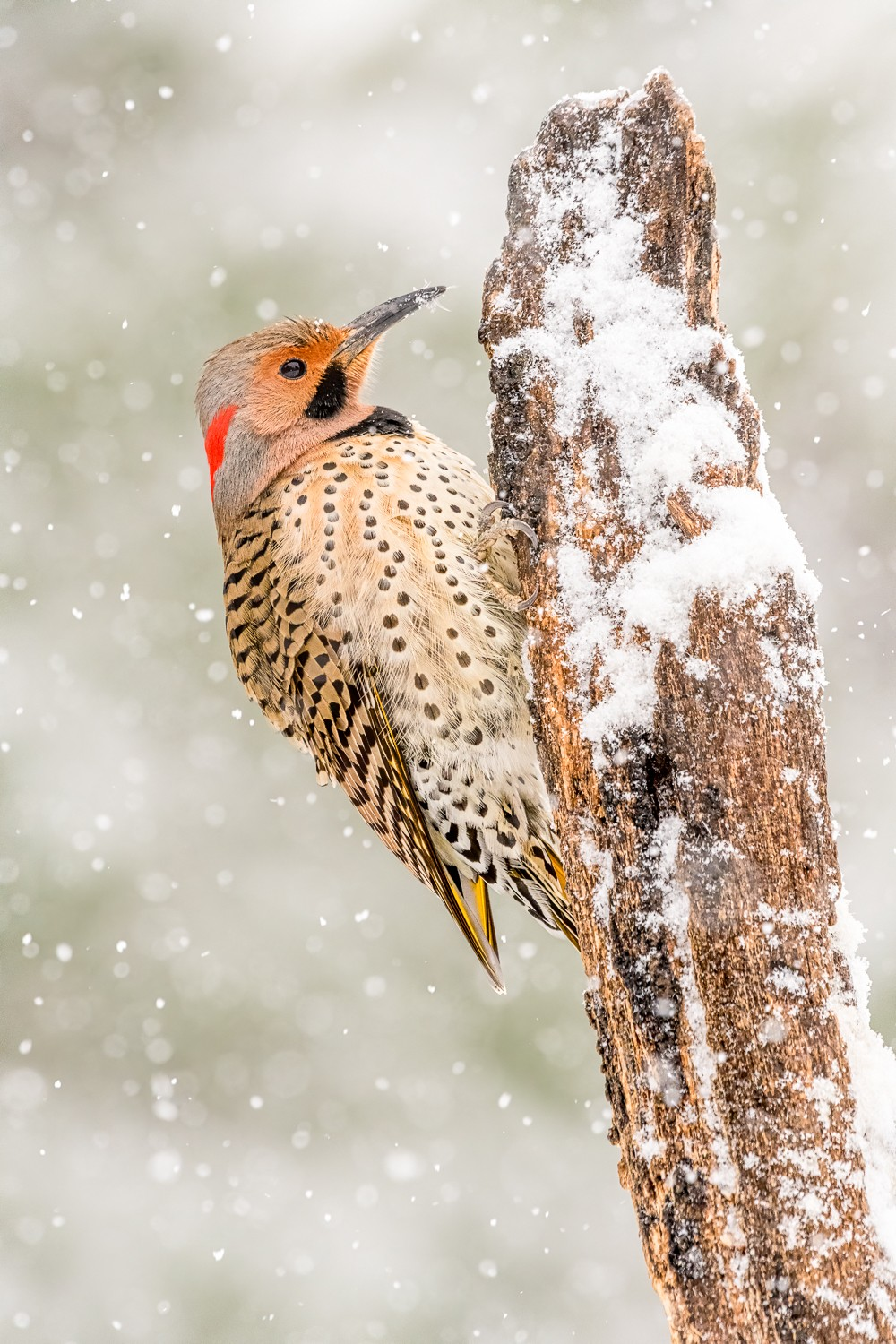 Snowy Flicker