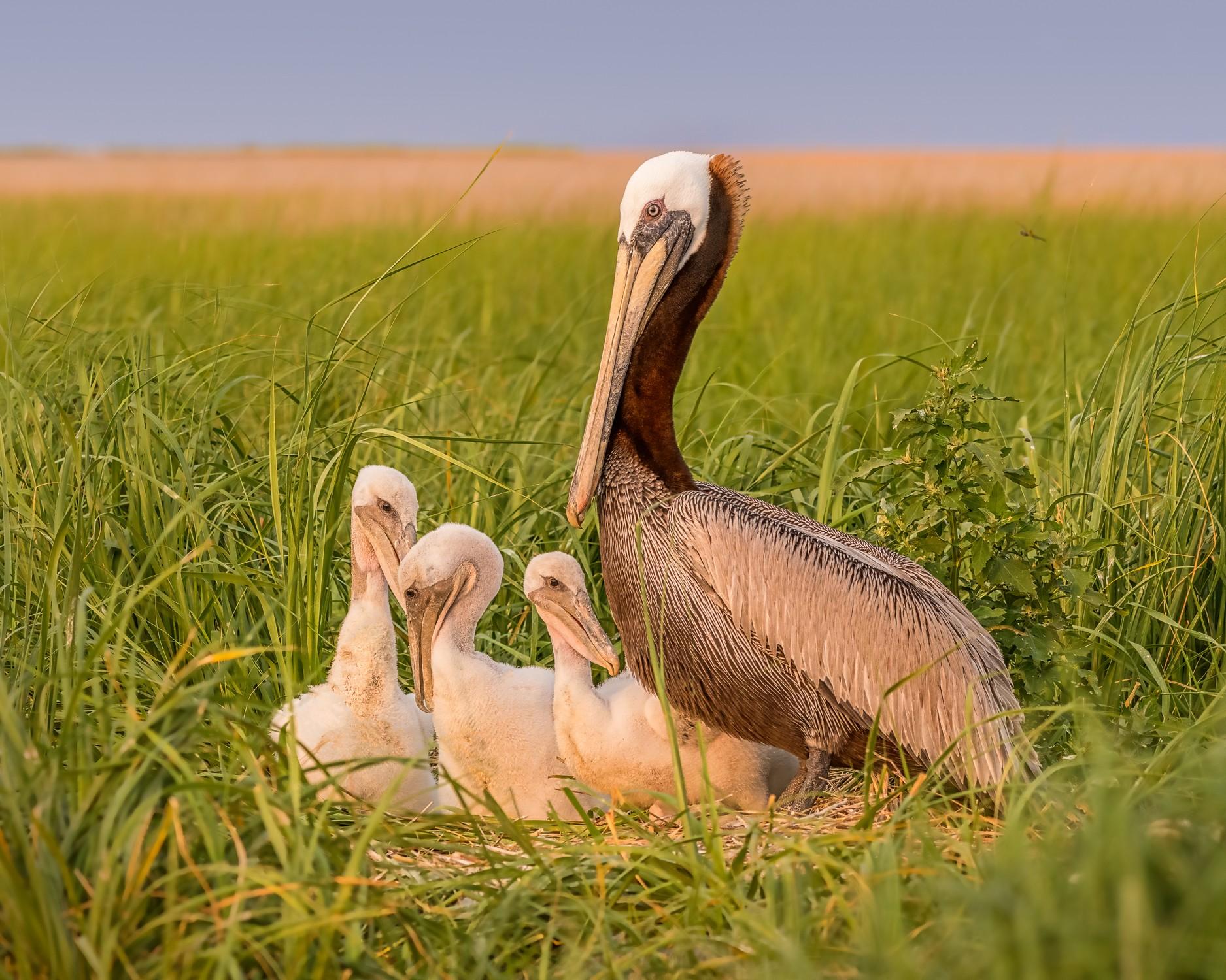 Smith Island Pelicans