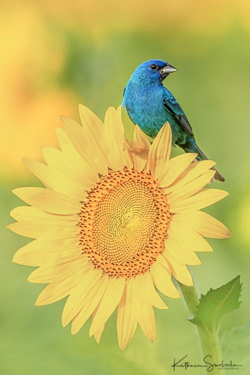 Indigo Bunting and Sunflower