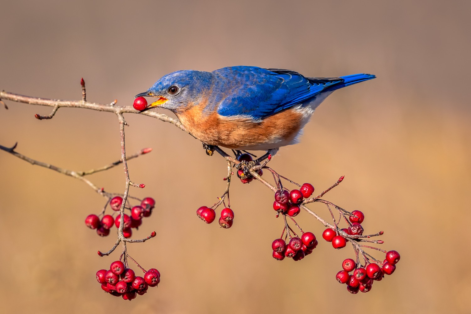 Bluebird and Winterberry