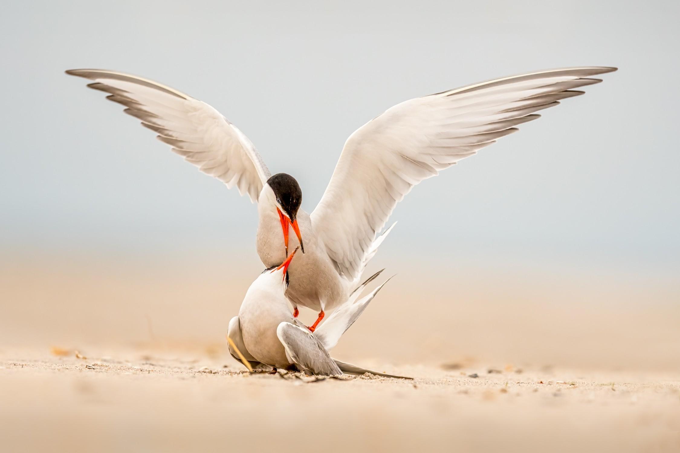 Tern Courtship