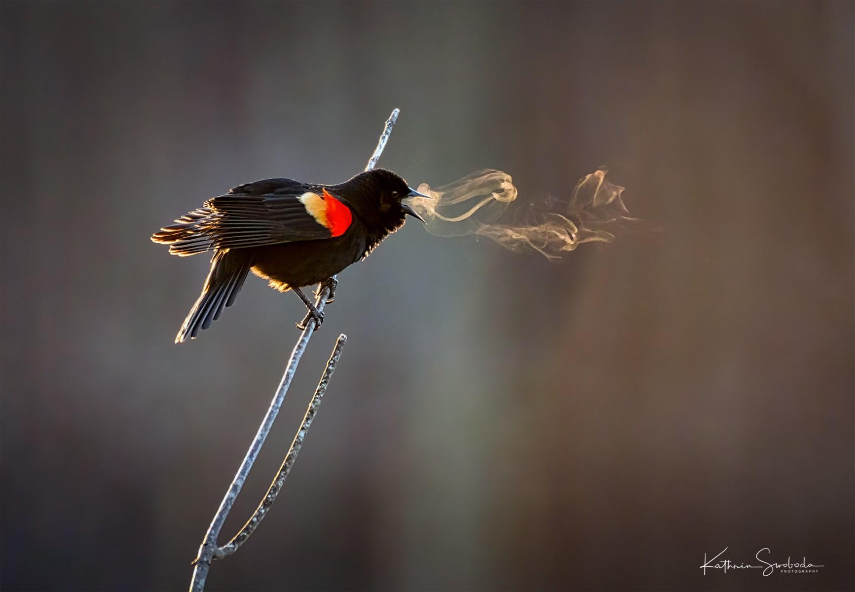 Red-winged Blackbird Companion